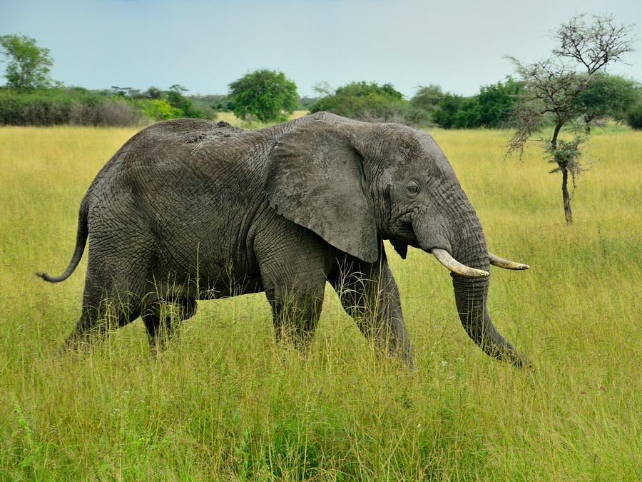 Саванный слон