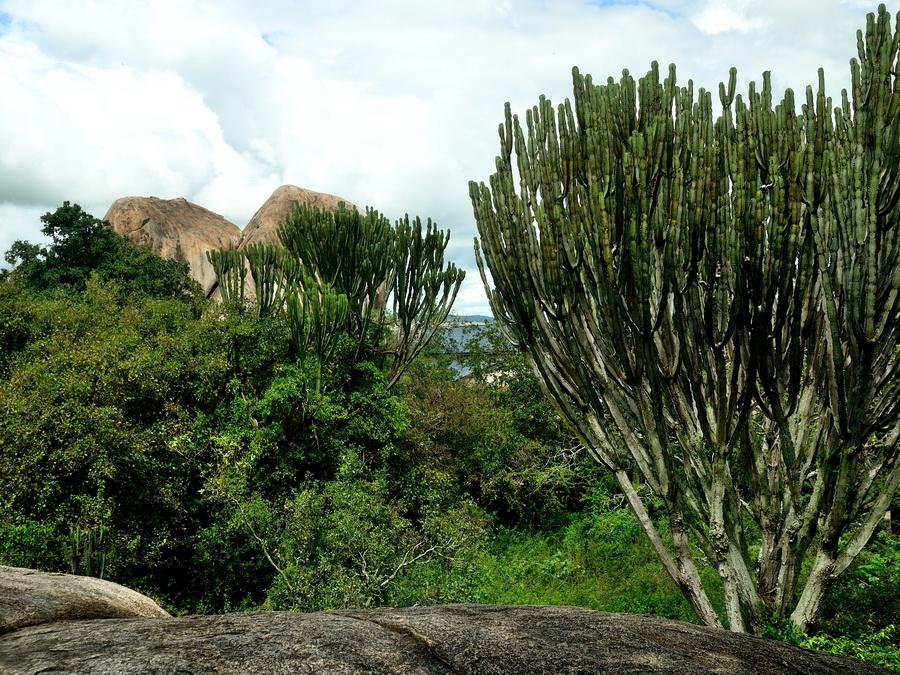 Канделябровые деревья
