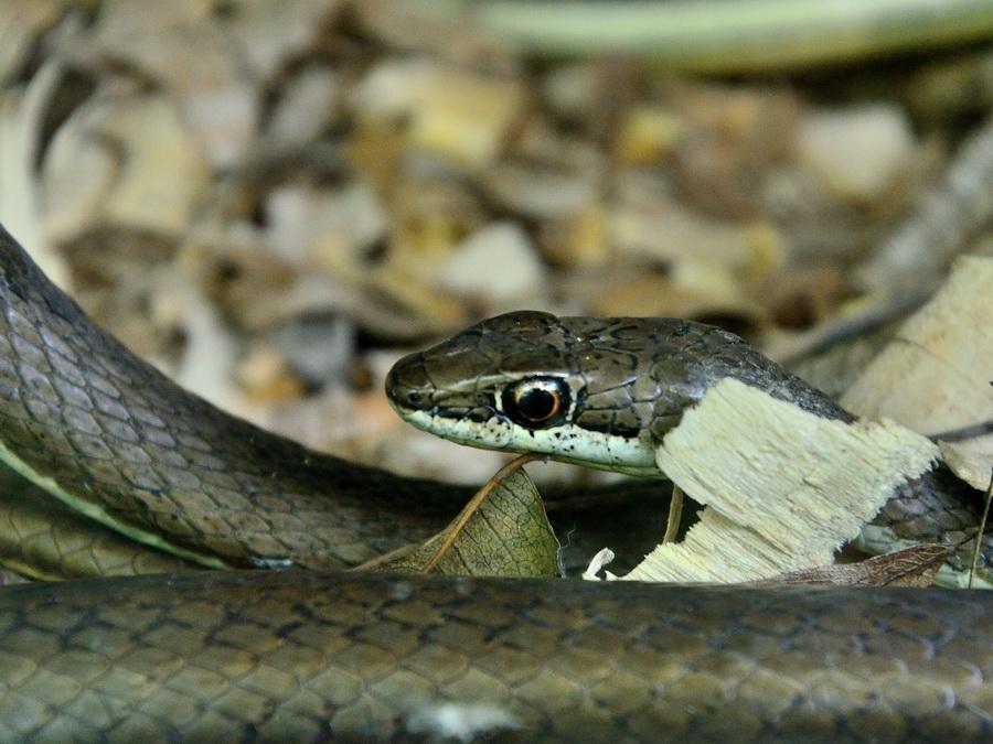 Песчаная змея