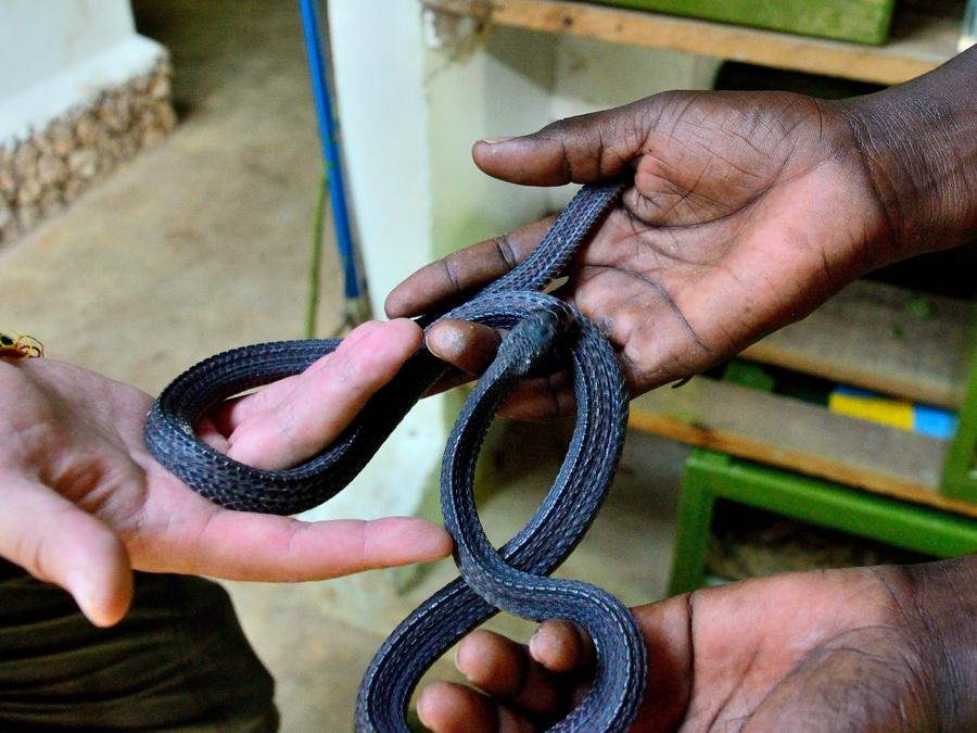 Капская игольная змея