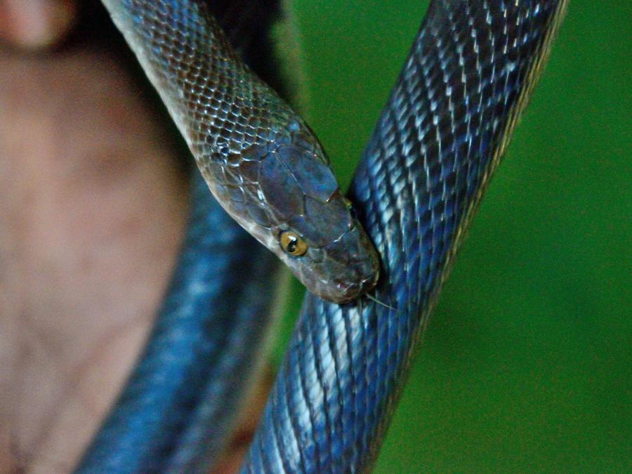Обыкновенная домовая змея