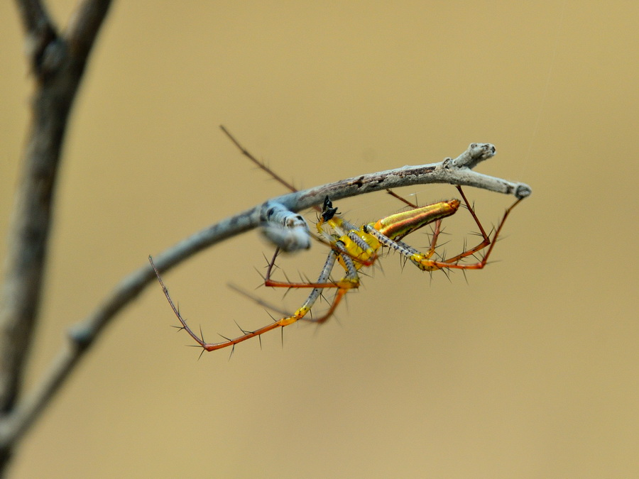 Самец паука
