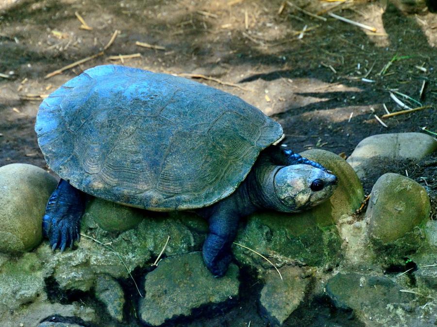 Мадагаскарская щитоногая черепаха