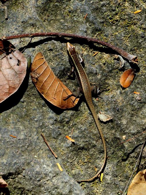 Африканская мабуя