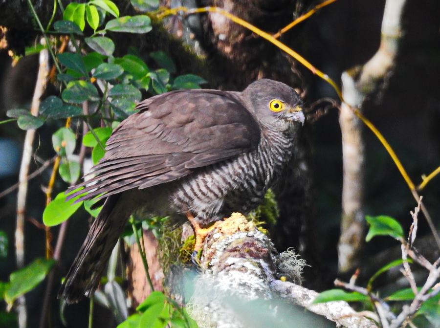 Мадагаскарский перепелятник