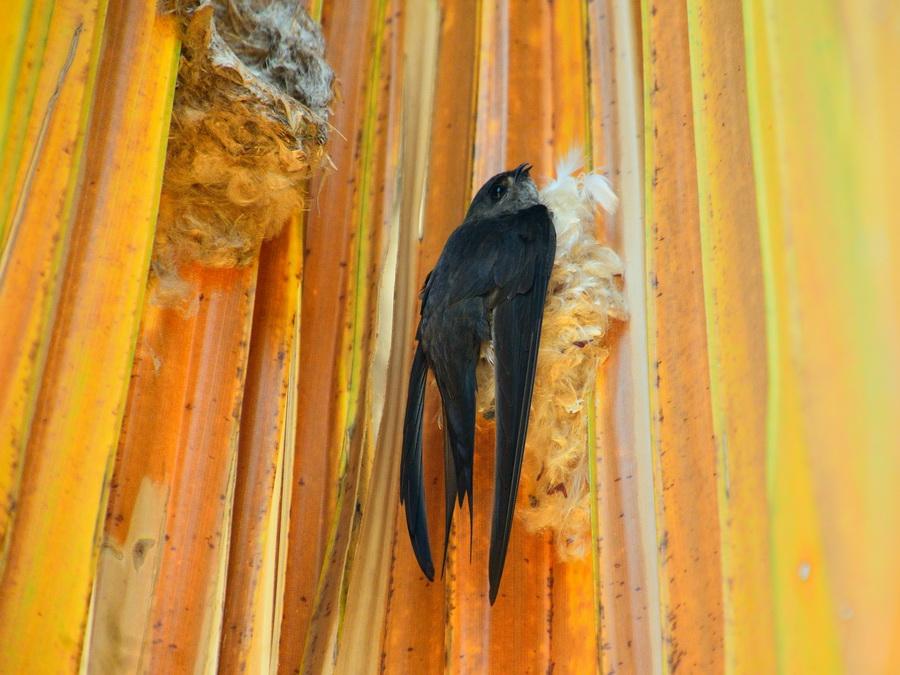 Пальмовый стриж