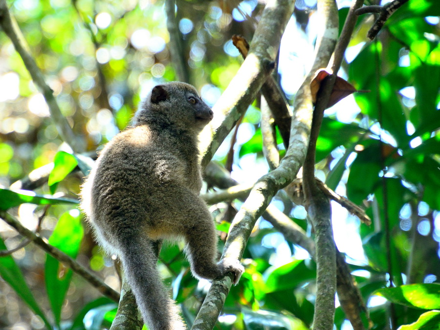 Бамбуковый лемур