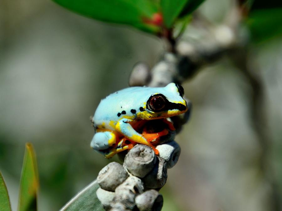 Мадагаскарская прыгунья