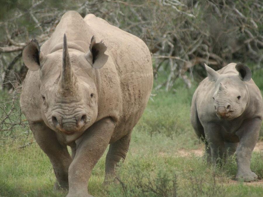 Чёрные носороги