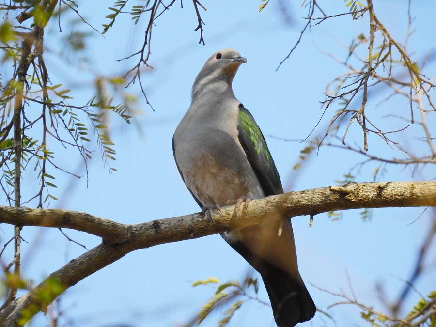 Мускатный плодоядный голубь