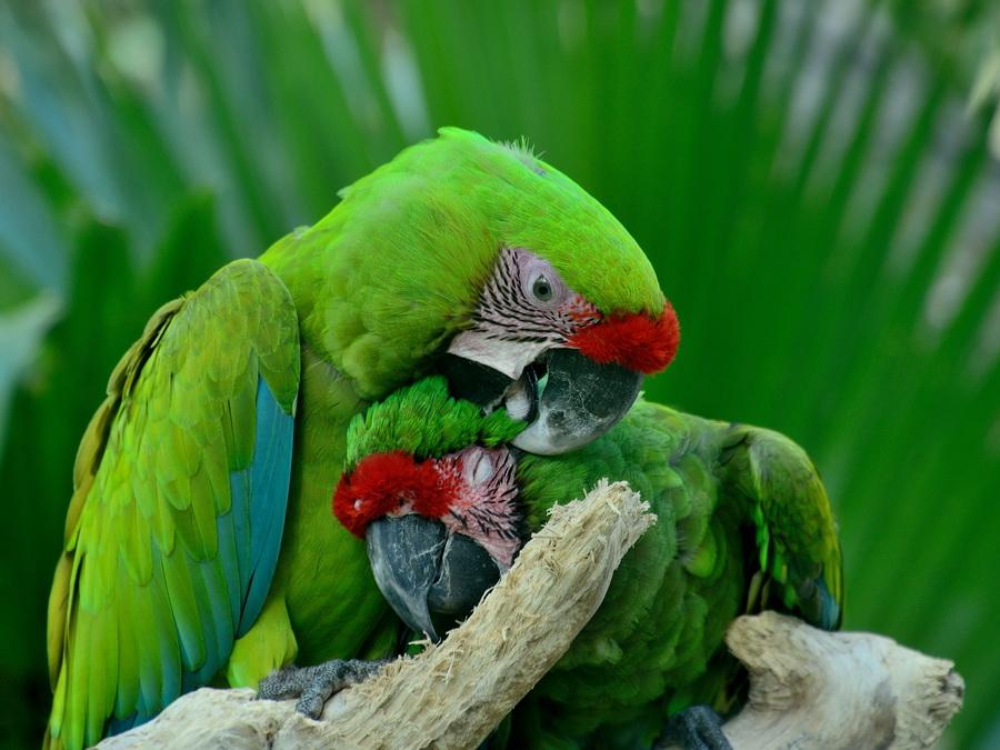 Зелёный ара