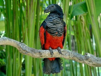 Орлиный попугай