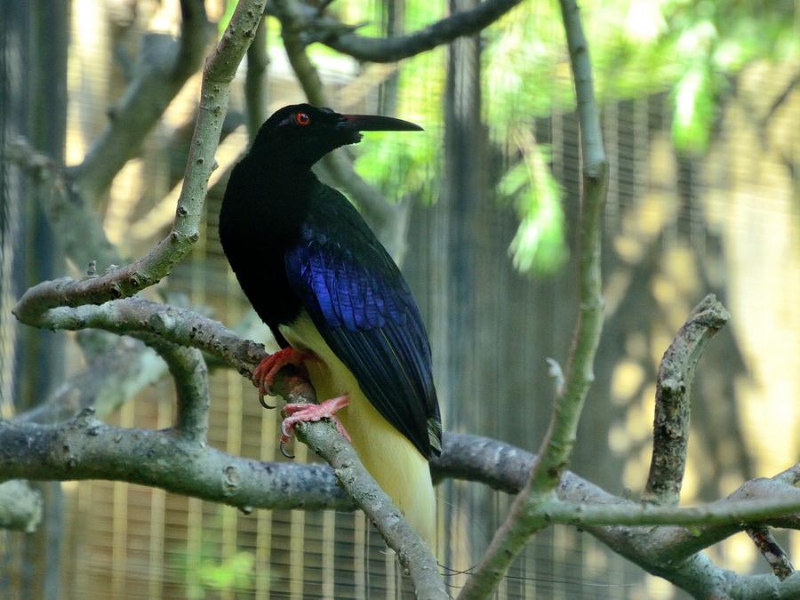 Нитчатая райская птица