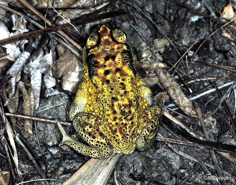Чернорубцевая жаба