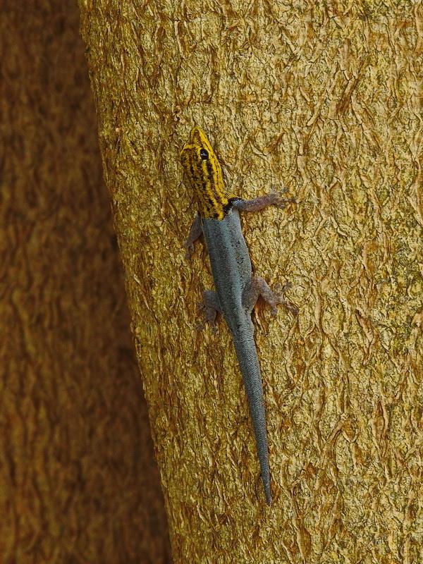 Южноафриканский карликовый геккон