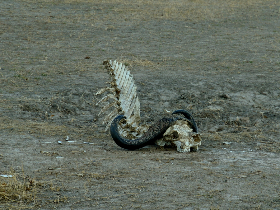 Скелет буйвола