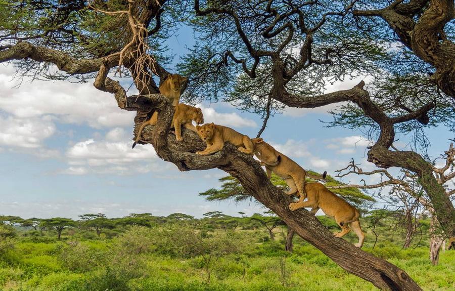 Древесные львы