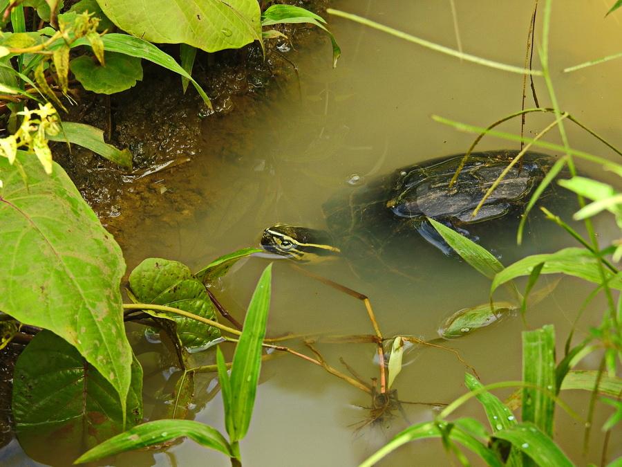 Амбоинская шарнирная черепаха