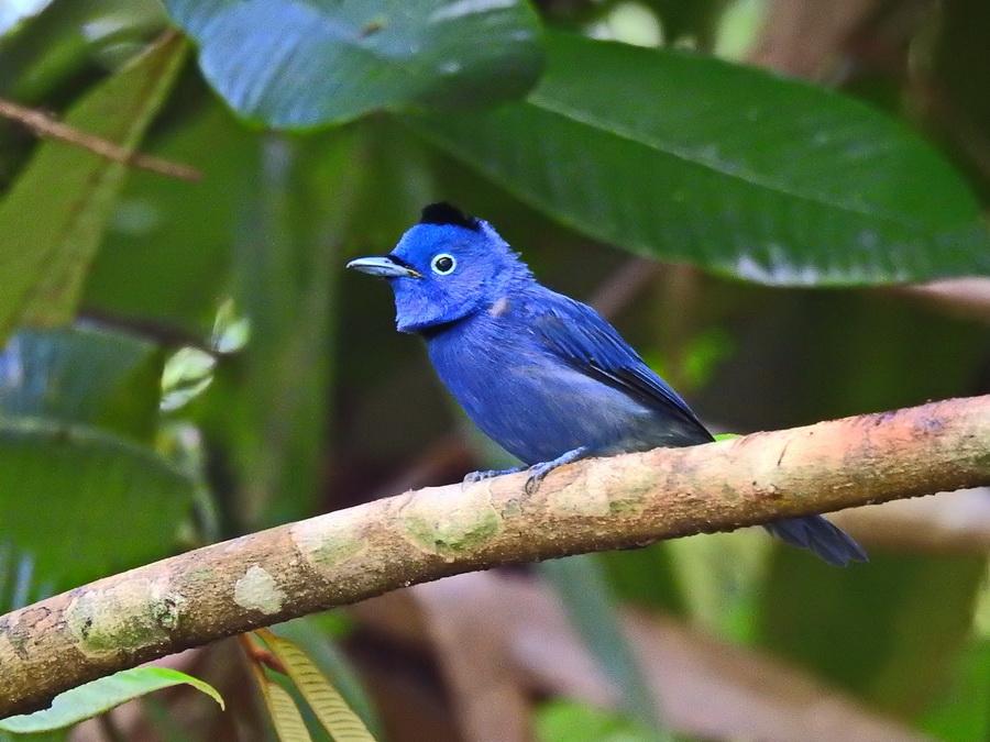 Синий монарх