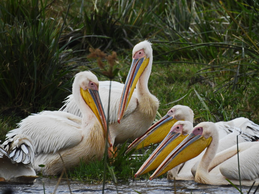Розовые пеликаны