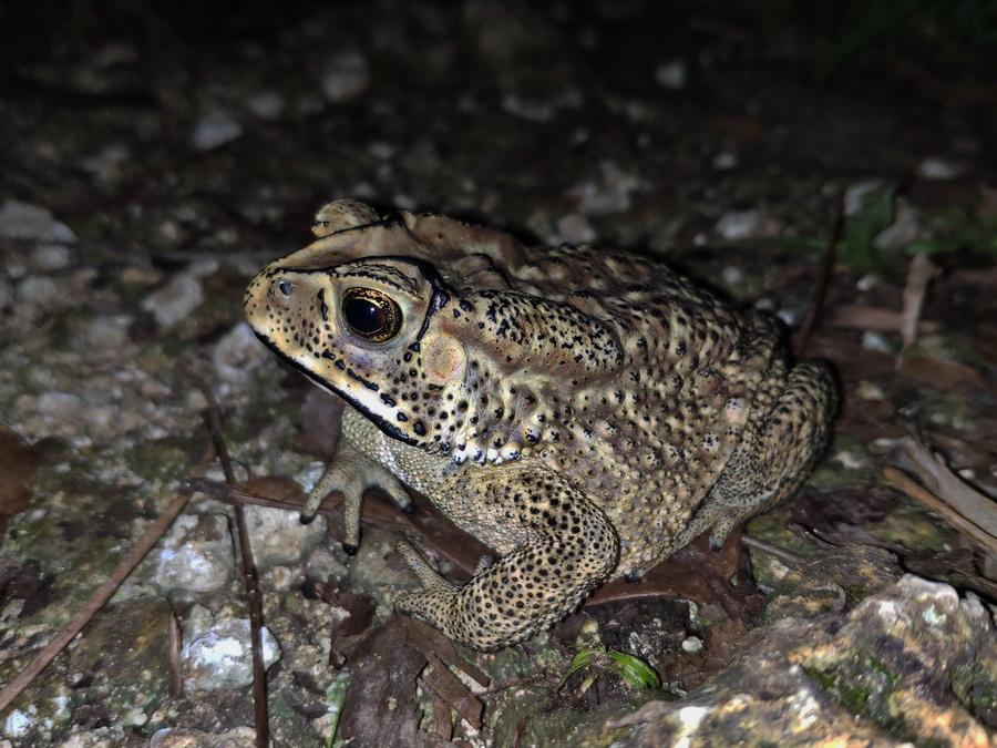 Чернорубцовая жаба