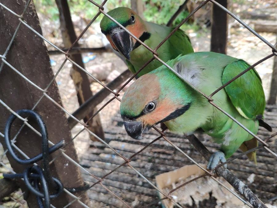 Нитехвостый кольчатый попугай
