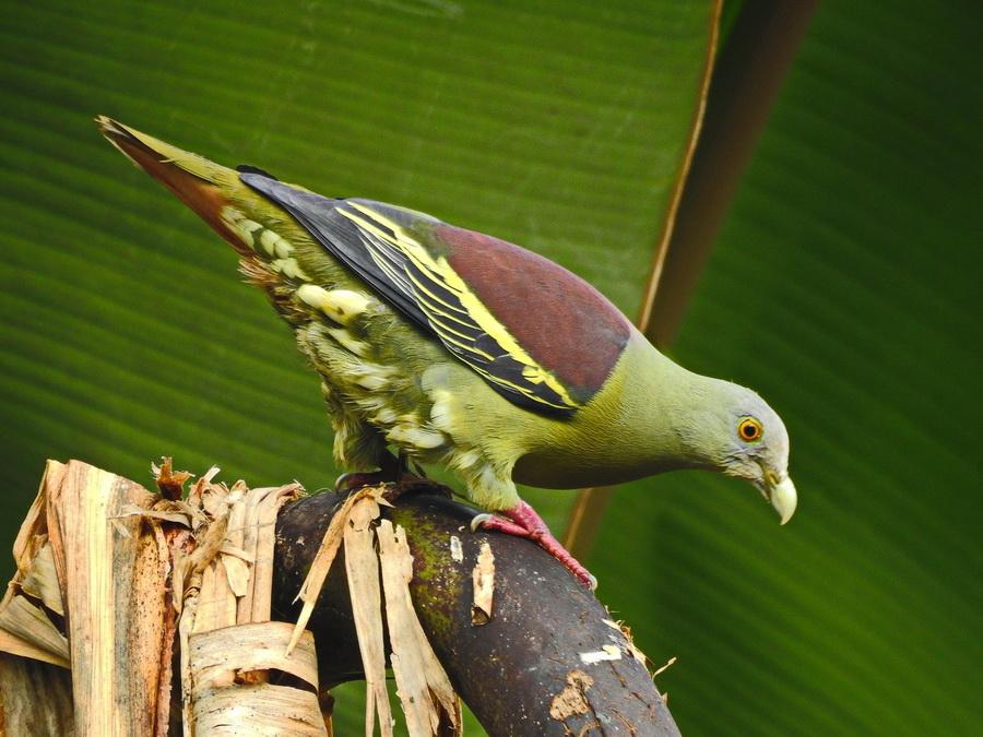 Крючкоклювый зелёный голубь
