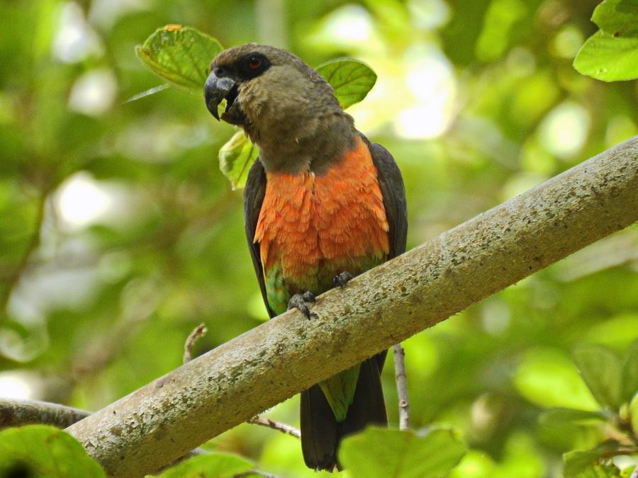 Краснобрюхий попугай