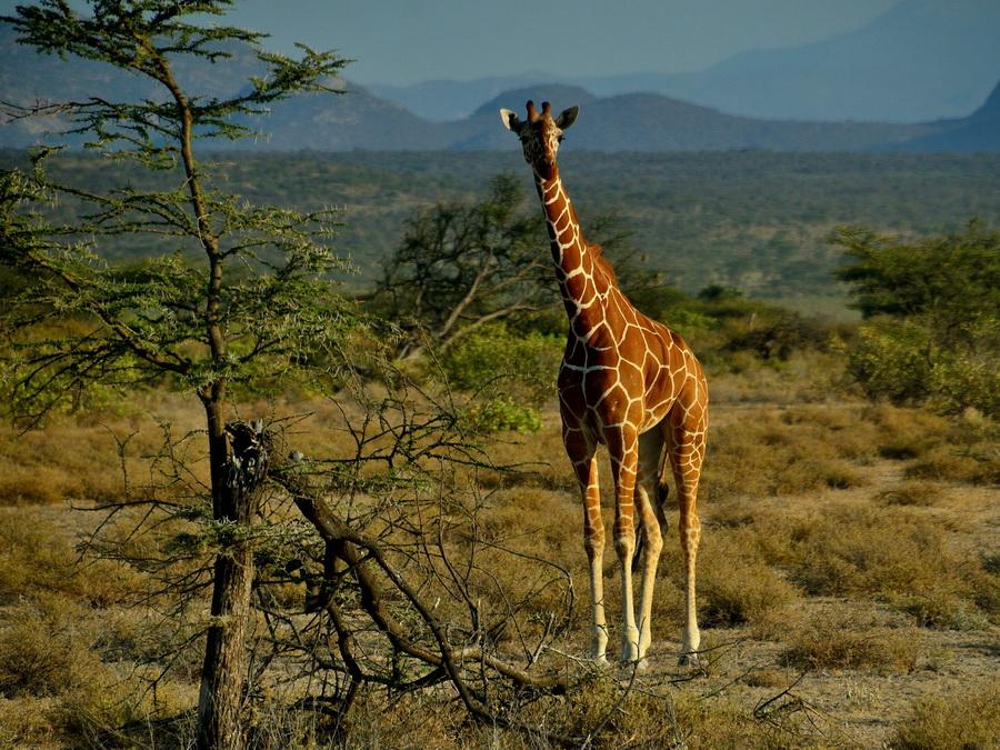 Сетчатый жираф